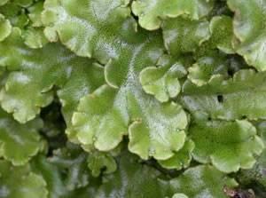 Briófitas – Vegetais Pequenos e Frágeis