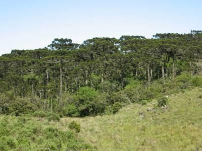Mata das araucárias ou Floresta aciculifoliada