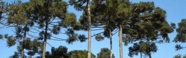 Vegetação-do-clima-subtropical-mata-de-araucária