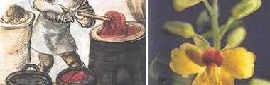 Manejo para extrair tinta e sementes da madeira Pau-Brasil.