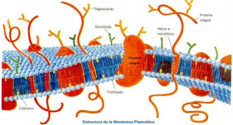 Fisiologia Humana – Fisiologia Celular – Transporte Celular