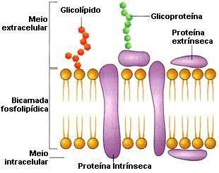 mosaico-fluido-fisiologia-da-membrana