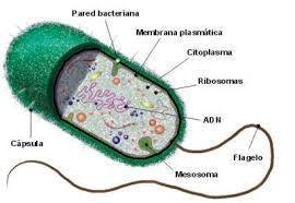 A celular de procarionte